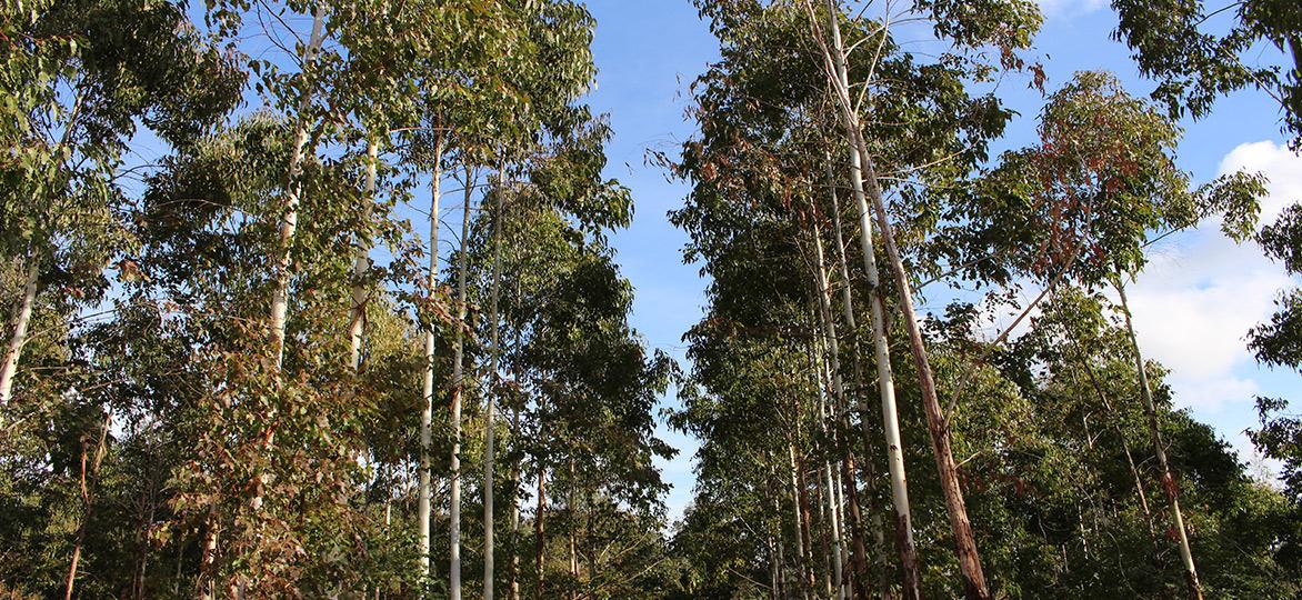 historia-eucaliptos-2